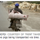 Live Pigs being transported via bike.